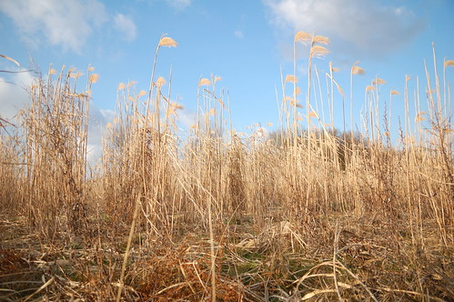 Reeds or wheat?