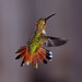 Feisty Rufous Hummingbird