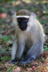 tufted capuchin(0.0), squirrel monkey(0.0), macaque(0.0), animal(1.0), monkey(1.0), mammal(1.0), langur(1.0), fauna(1.0), old world monkey(1.0), new world monkey(1.0), wildlife(1.0),