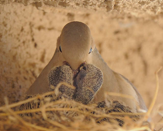 Mourning Dove Feeding Young | The mourning dove produce a ...