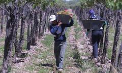 El tejido social de la vitivinicultura
