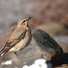 Steindepill (Oenanthe oenanthe) - Northern Wheatear