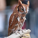 Eastern Screech-Owl - Photo (c) Robert, some rights reserved (CC BY-NC)