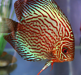 Discus fish in an aquarium
