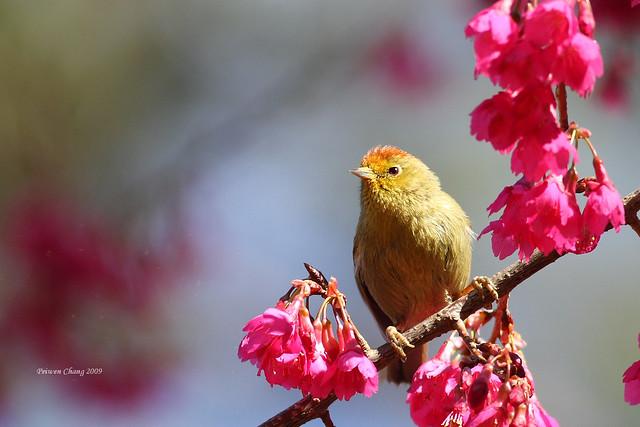 山紅頭 Rufous-capped Babbler