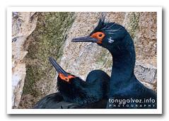 Cormorán roquero / rock cormorant, Ushuaia