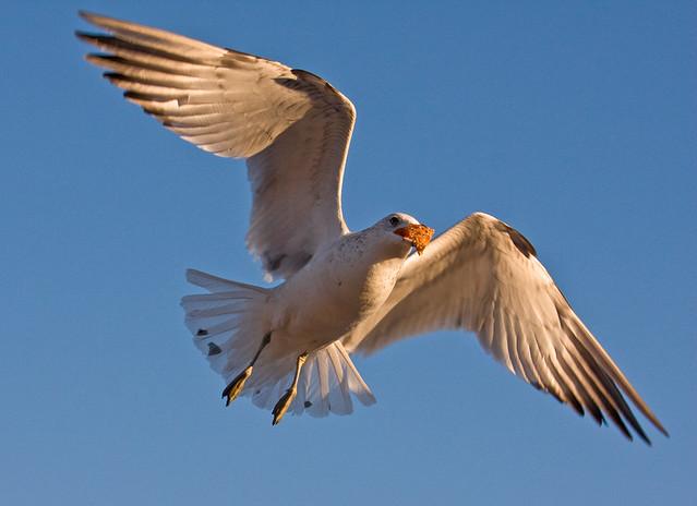 Bagel Gull_F.jpg