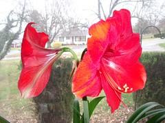 amaryllis belladonna(1.0), canna lily(1.0), shrub(1.0), flower(1.0), plant(1.0), gladiolus(1.0), petal(1.0),