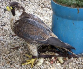 Falco peregrinus 3388936509_2068904c08_o