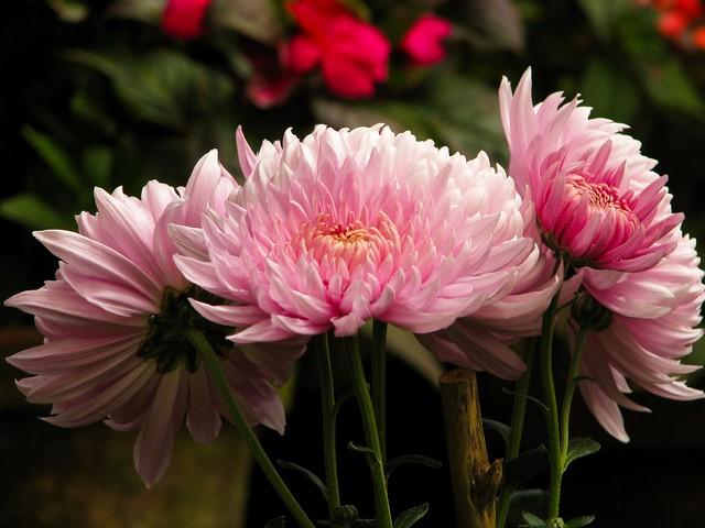 pink dahlias at blossom park, munnar