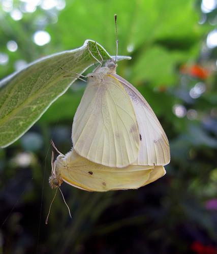butterfly bug insect kansascity kansas pieris pierisrapae cabbagewhite smallwhite cabbagebutterfly tonganoxie smallcabbagewhite europeancabbagebutterfly easternkansas importedcabbageworm