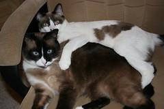 european shorthair(0.0), animal(1.0), siamese(1.0), small to medium-sized cats(1.0), pet(1.0), snowshoe(1.0), thai(1.0), tonkinese(1.0), cat(1.0), carnivoran(1.0), whiskers(1.0), balinese(1.0), manx(1.0), domestic short-haired cat(1.0),