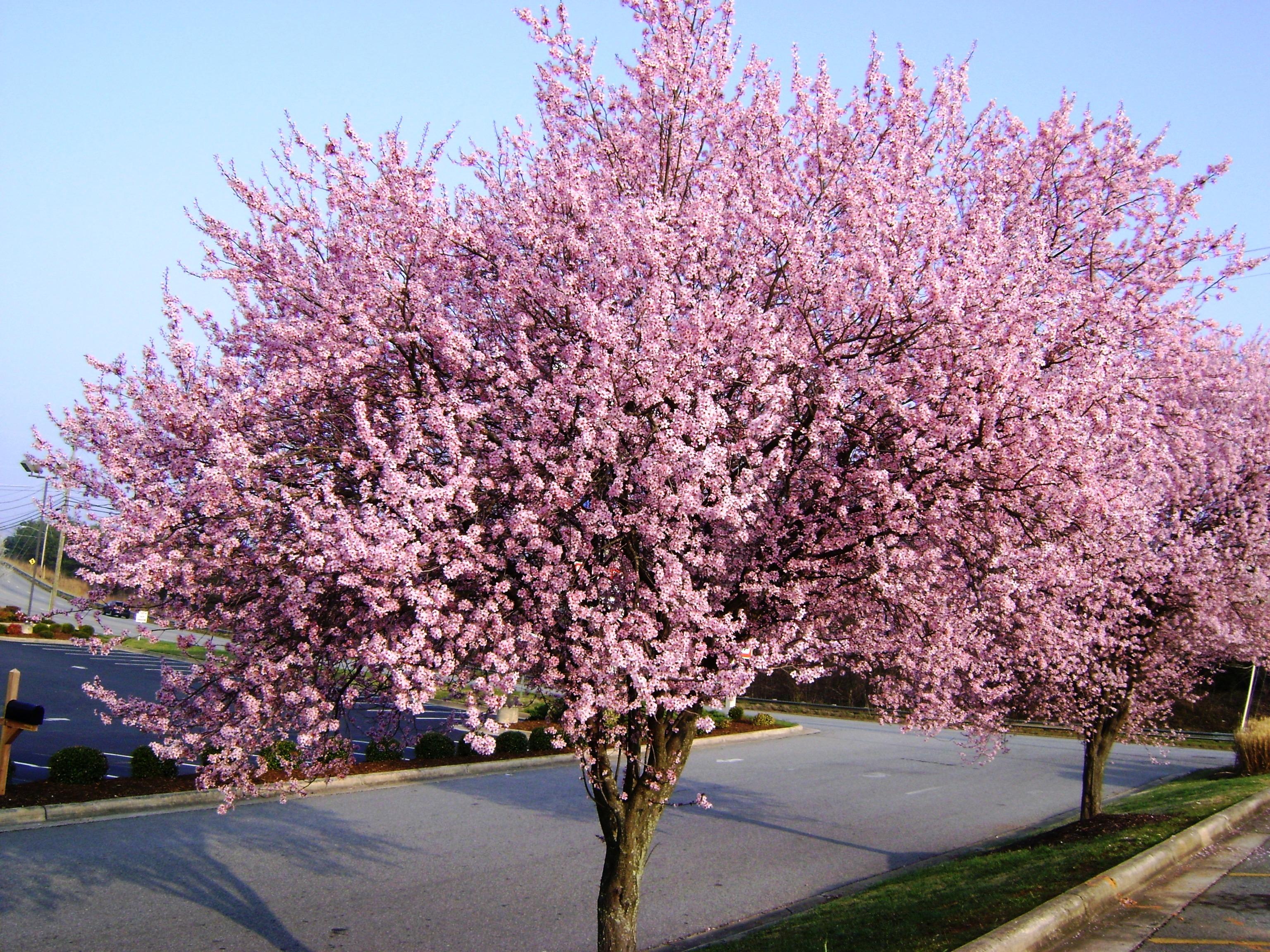 Flowering Plum Tree in Jonesville NC