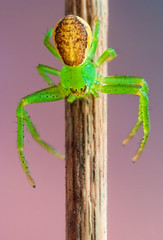 Green Crab Spider II