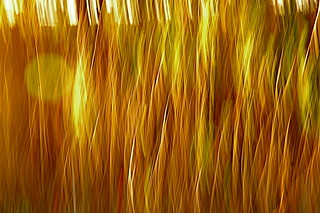 Grasses in the Sunset