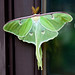 Luna Moth - Photo (c) Patrick, some rights reserved (CC BY)