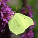 Common Brimstone - Photo (c) Didier, some rights reserved (CC BY-SA)
