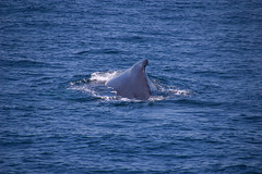 animal, marine mammal, sea, marine biology, whales, dolphins, and porpoises,