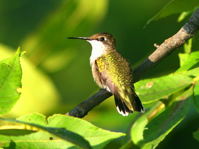 Ruby-throated Hummingbird 20090813