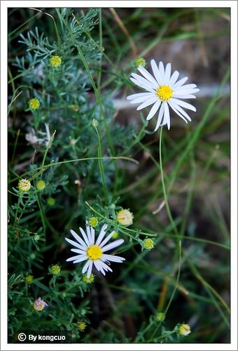 内蒙古植物照片-菊科狗哇花属狗哇花