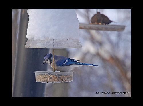 "blue winter ohio brown snow cold bird closeup flickr bokeh gray january birdfeeder bluejay supershot bej theunforgettablepictures doniannone photosexplore allkindsofbeauty explorewinnersoftheworld mayfieldvillageohio ""mallmixstaraward"" nikond40xcamera explorewinnersofworld amusingbird"