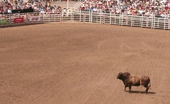animal sports, cattle-like mammal, bull, sport venue, event, tradition, sports, bullring, traditional sport,