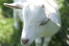 animal, mammal, goats, domestic goat, fauna, close-up,