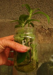 A well rooted Stevia cutting in water