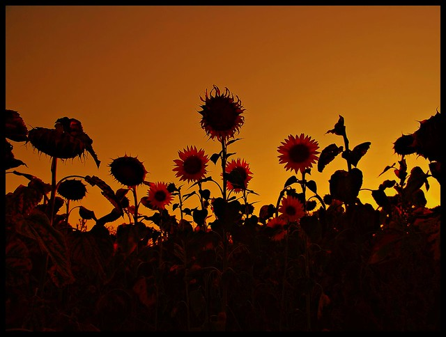 Sunflowers in Orange Sky ;P