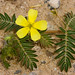 Tribulus - Photo (c) Patrick Alexander, some rights reserved (CC BY-NC-ND)