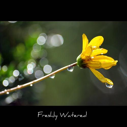 flower macro yellow closeup droplets bokeh daisy canon100mmf28macro delicate johnmorgan