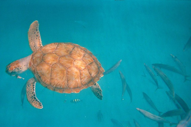 Sea turtle eating a fish flickr photo sharing for What do fish eat in the ocean