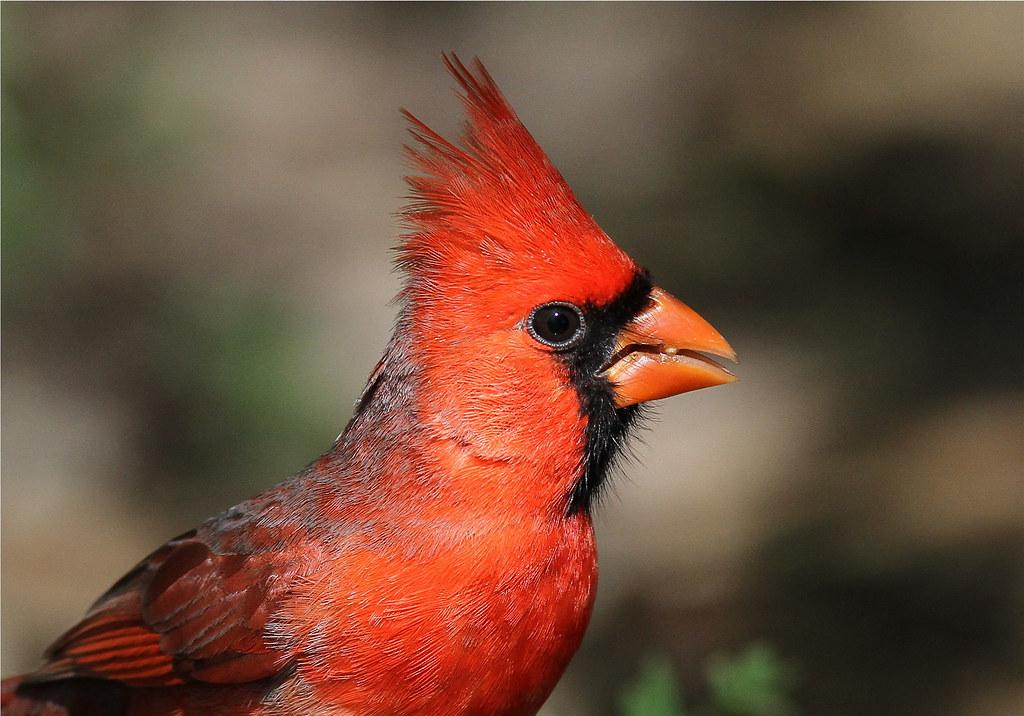 Cardinalis cardinalis ♂ (Northern Cardinal)