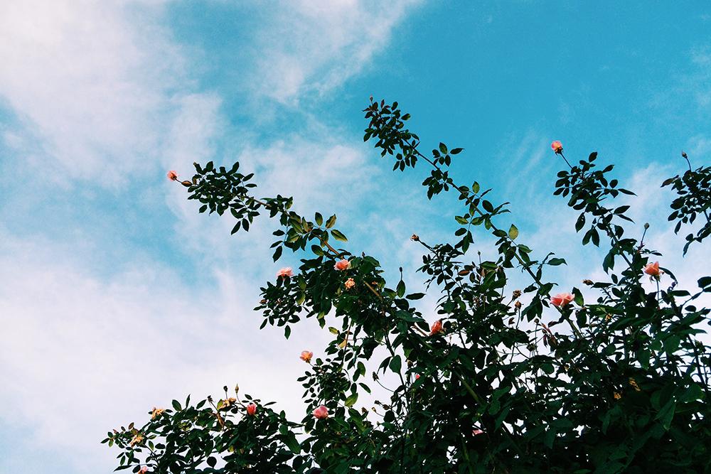 rosebush_1_web