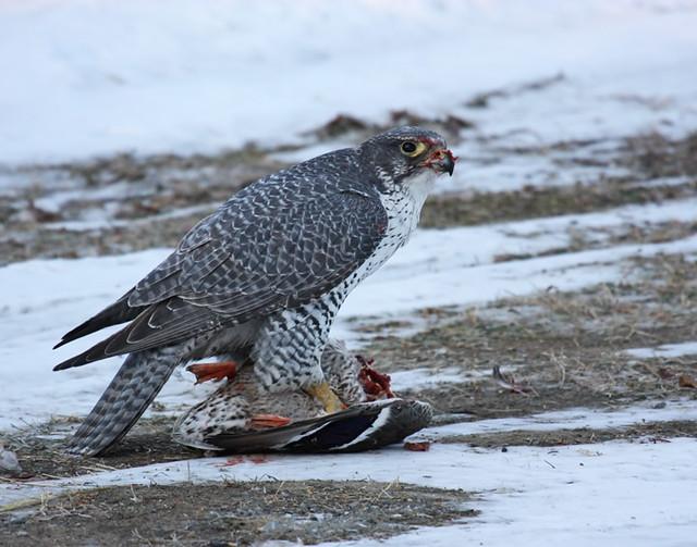 Falconiformes. sub Falconidae - sub fam Falconinae - gênero Falco - Página 3 3178851660_a1e10c86ba_z