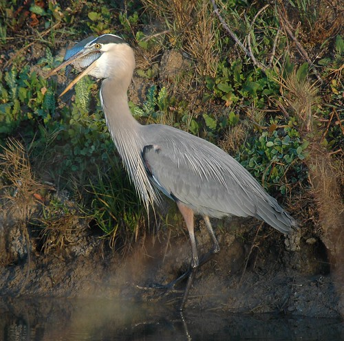 Great Blue Heron with a sunfish