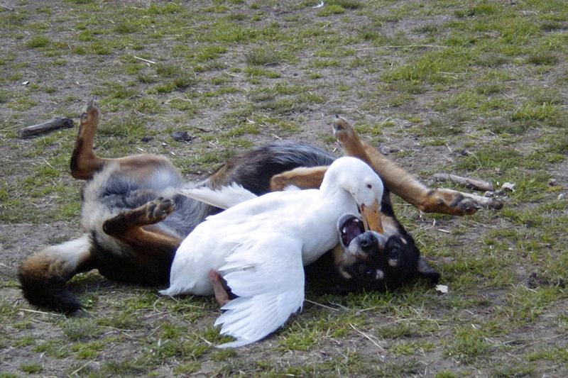 Duck Wrestles Dog