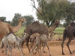 animal(1.0), mammal(1.0), herd(1.0), fauna(1.0), vicuã±a(1.0), camel(1.0), arabian camel(1.0), wildlife(1.0),