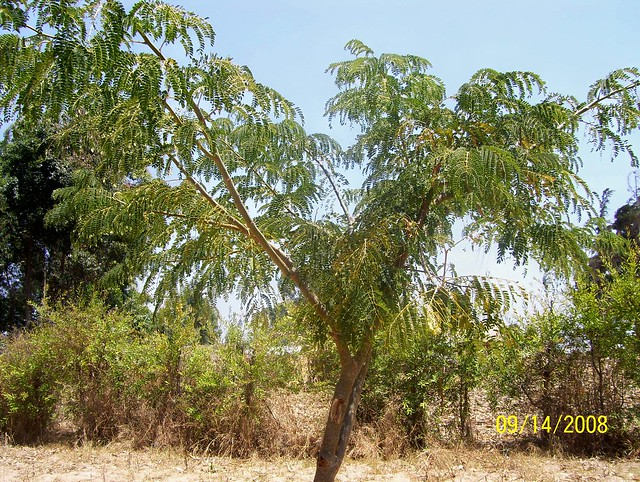 Header of Albizia schimperiana