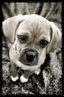 pet_photography_puggle