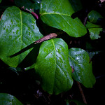 Salal in the dark rainforest