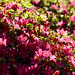 Small photo of Magenta flowers