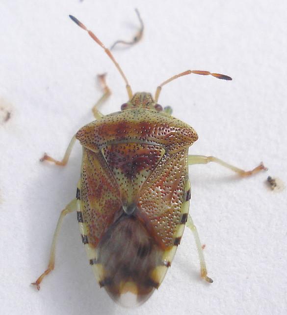 Header of Acanthosomatidae