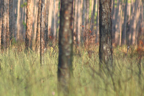 bird fauna flora downywoodpecker picoidespubescens easternnorthcarolina undisclosedlocation pinesavanna