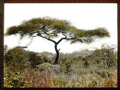 Acacia tree and vegetation