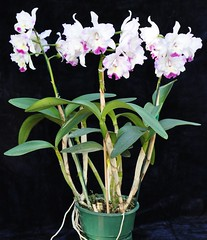 Lc. Angel Heart Plant