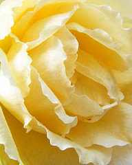 Gazebo Rose~ Yellow Macro