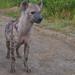 Uganda: Spotted Hyena by Samuel Roth