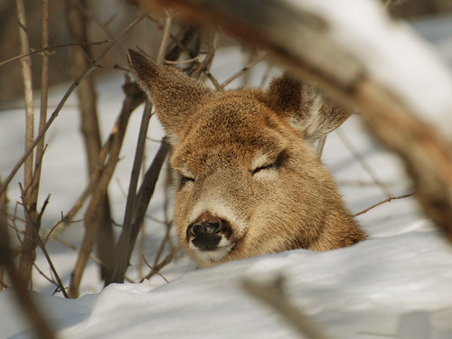 sleeping deer buck