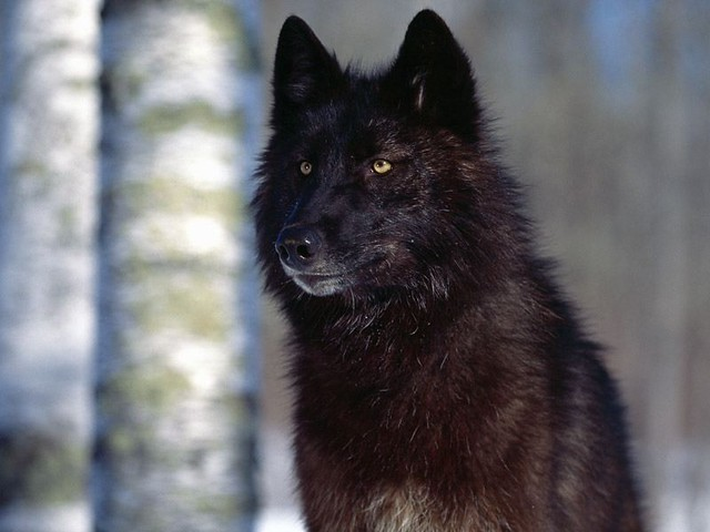Male black wolf with yellow eyes - photo#20